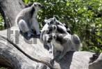 Thumbnail lemures