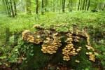 Thumbnail mushroom Kuehneromyces mutabilis, Rhoen, Franconia, Bavaria, Germany