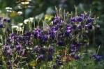 Thumbnail aquilegia Aquilegia vulgaris