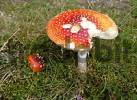Thumbnail toadstool, fly agaric