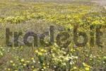 Thumbnail spring flowers especially Chrysanthemum coronarium, Delos, Greece