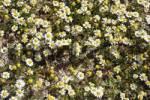 Thumbnail Spring flowers especially Anthemis maritimaGreece