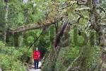 Thumbnail hiker on path in rainforest at Dove Lake in Cradle Mountain Lake St Clair Nationalpark Tasmania Australia
