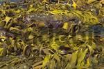 Thumbnail seaweed in Wineglass Bay in Freycinet Nationalpark Tasmania Australia