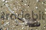 Thumbnail dead ray on beach Freycinet Nationalpark Tasmania Australia