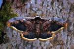 Thumbnail Giant Peacock Moth Saturnia pyri
