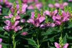Thumbnail flowering rose turtlehead Chelone obliqua