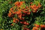 Thumbnail firethorn cultivar Orange Glow - pyracanth - evergreen thorn Pyracantha hybrid Orange Glow