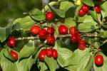 Thumbnail cornelian cherry - branch with berries - fruits Cornus mas