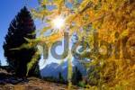 Thumbnail Larches in autumn, Sextenan Dolomites, South Tyrol, Italy