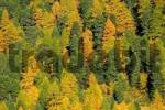 Thumbnail Autumnal coniferous forest at the Staller Sattel, East Tyrol, Austria