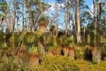 Thumbnail pandanus trees Richea pandanifolia in wood on Overland Track in Cradle Mountain Lake St Clair Nationalpark Tasmania Australia