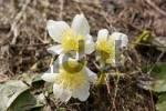 Thumbnail spring flower Helleborus niger on mountain Rax Lower Austria Austria