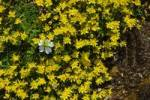 Thumbnail Yellow saxifrage Saxifraga aizoides and Alpine mouse-ear Cerastium alpinum