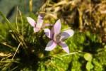 Thumbnail Chiltern gentian Gentianella germanica