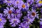Thumbnail Blue Aster Aster dumosus