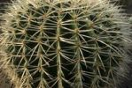 Thumbnail Golden Barrel Cactus Echinocactus grusonii, densly covered with thorns