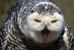 Thumbnail Snowy Owl Bubo scandiacus, portrait