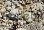 Thumbnail Empty shells of maritime animals washed ashore at sandy beach