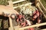 Thumbnail kind spielt mit schweinen
