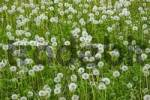 Thumbnail meadow with withered dandelion Taraxacum officinale Lower Austria Austria