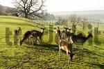 Thumbnail BRD Germany Bavaria Upper Bavaria Pähl Fallow Deer Fallow Deer in a Fence Fallow Deer Fence Fence Deer