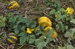 Thumbnail pumpkins which are used for production of edible oil Styria Austria