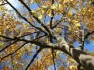 Thumbnail autumn tree with yellow leafs