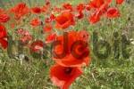 Thumbnail red corn poppy field