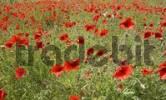 Thumbnail red corn poppy field