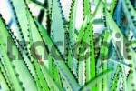 Thumbnail cactus leaves