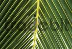 Thumbnail Palm leaf with yellow veins coco-nut, detail