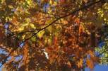 Thumbnail Yellow and red autumn leaves on oak-tree in back light against blue sky