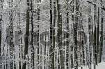 Thumbnail Snow covered forest in winter, beech-forest with snow, Schurwald, , Rems-Murr district / county, Baden-Wuerttemberg, Germany