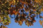 Thumbnail Red, green and yellow autumn leaves of an oak-tree in back light against blue sky