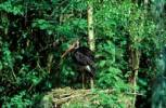 Thumbnail Black Stork