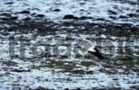 Thumbnail White Stork
