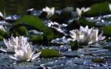 Thumbnail Waterlilly