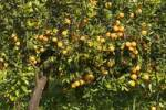 Thumbnail Oranges Citrus sinensis on a orange tree Majorca