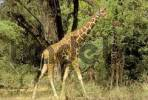 Thumbnail Recticulated giraffe walking between akacia Giraffa camelopardis Samburu National Park Kenya