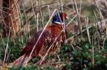 Thumbnail Pheasants