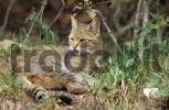 Thumbnail European wild cat