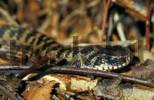 Thumbnail Common viper