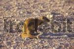 Thumbnail Yellow Mangoose Namibia