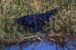 Thumbnail American Alligator