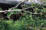 Thumbnail Brown Bear