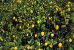 Thumbnail lemon tree Spain