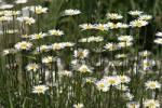Thumbnail oxeye daisy  Leucanthemum vulgare