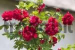 Thumbnail Flowering roses in Slovenia