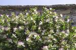 Thumbnail Caper bush  Capparis spinosa  in Piran on the Mediterranean at the Adriatic coast in Slovenia